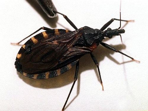 Si encuentras este insecto en casa anda al medico urgente